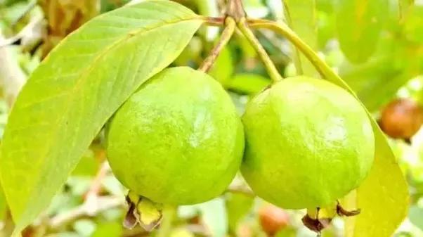 Health Benefits Of Drinking Guava Leaf Tea