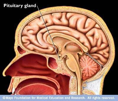 What is the location of the pituitary gland? - Quora