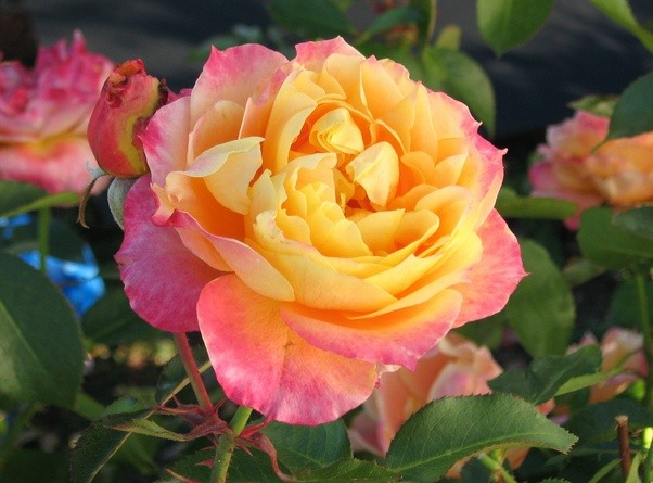 Images of most beautiful roses in the world-5149
