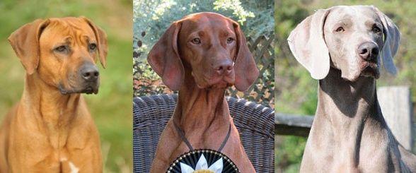 Dogs That Look Like Viszla