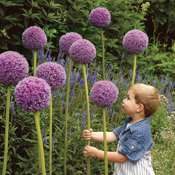 All Stem And Then One Enormous Purple Ball Of Flowers The Marketing People Like To Have A Toddler In Photo Make Them Look Even Ger