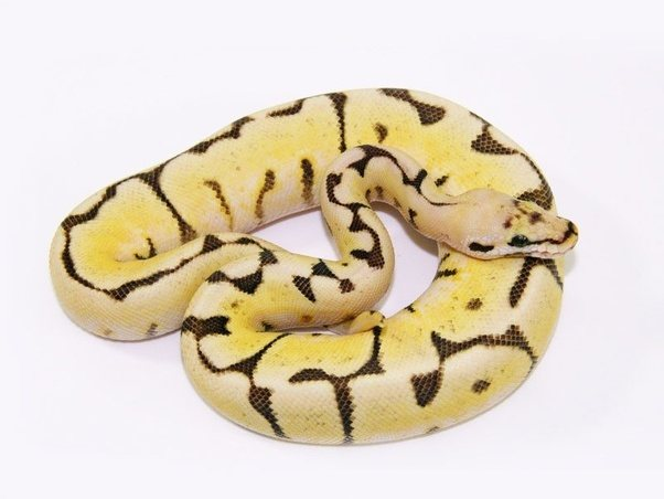 Which Would You Recommend For A First Pet Snake The Corn Snake Or The Ball Python Why Quora
