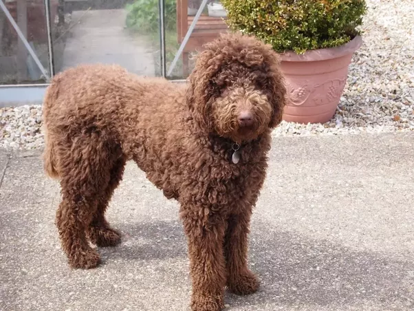 What Type Of Coat Will My Labradoodle Have? Will It Shed? Do You Have A  Picture Of An Adult To Compare?   Quora