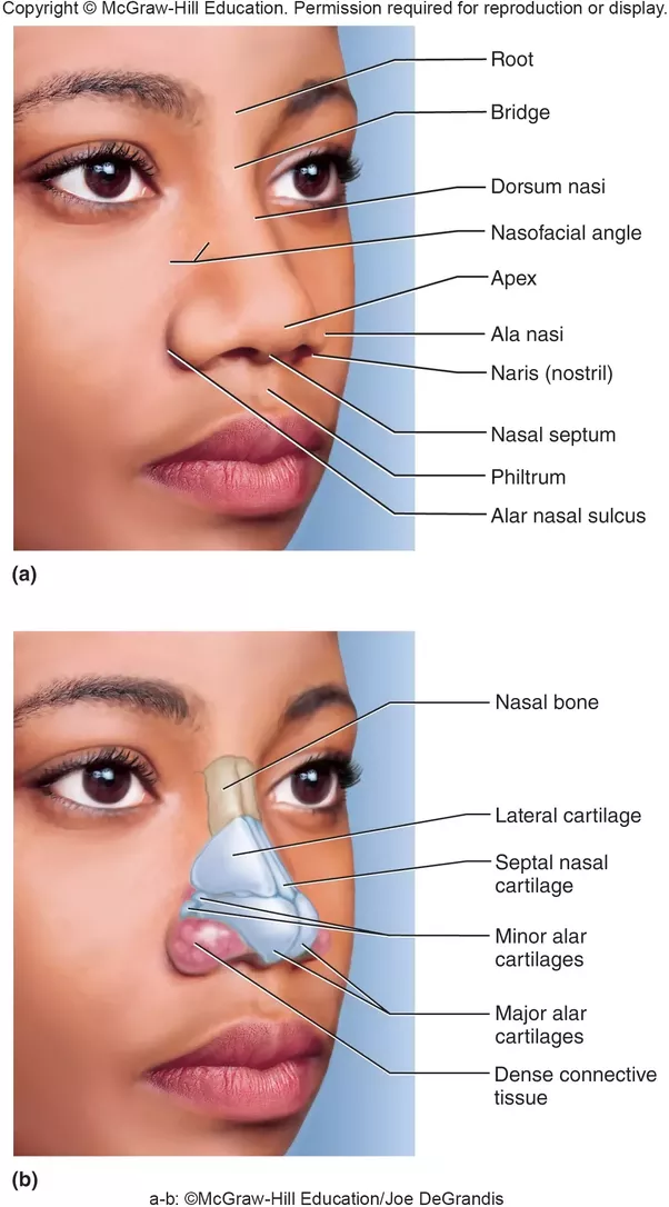 Does the nose contain elastic cartilage? - Quora