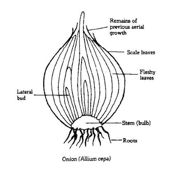 is onion a root or a modified stem