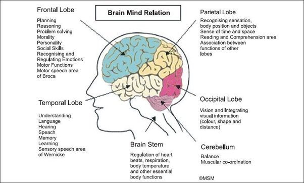 The more recently evolved parts of the brain have a superordinate role  relative to the more primitive parts.