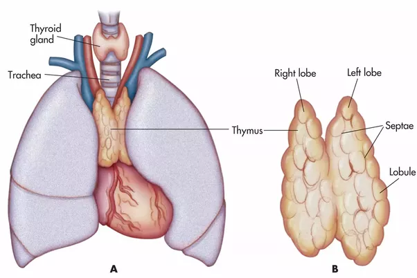 Can the thymus be replaced in adults? - Quora