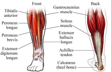 What Doctor Do I Go To For A Calf Muscle Tear Quora