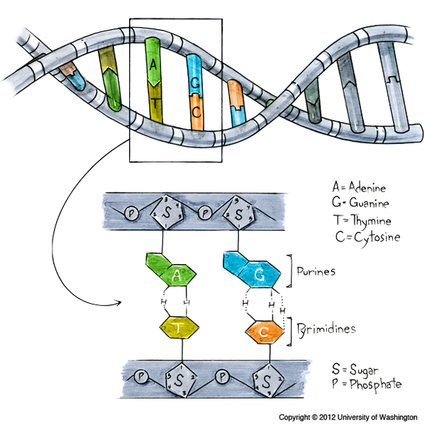 What does DNA look like - answers.com
