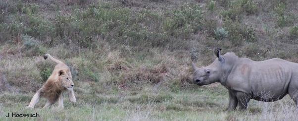 �ล�าร���หารู�ภา�สำหรั� tiger lion bull rhino