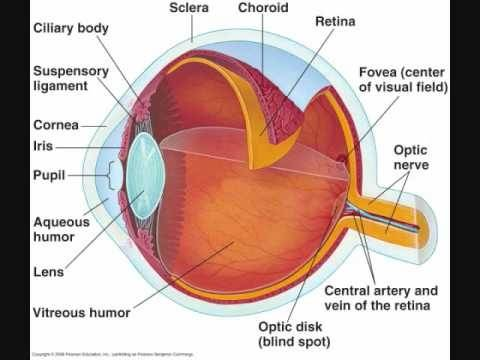 What are the different parts of the human eye and their function space between the cornea and lens is called the aqueous chamber and contains aqueous humor space between the retina and the crystalline lens is called the ccuart Images