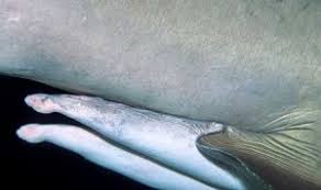 gli squali non hanno pene)