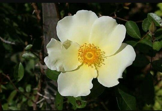 What is this white flower with multiple yellow fluffy stamens quora and these are flowers of rosa alba semi plena mightylinksfo