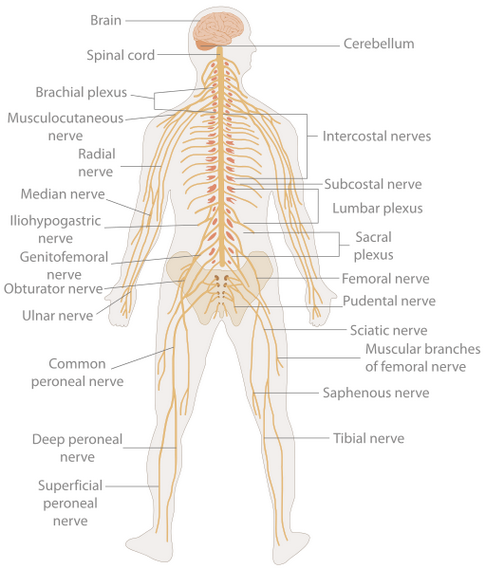 What is the nervous system? - Quora