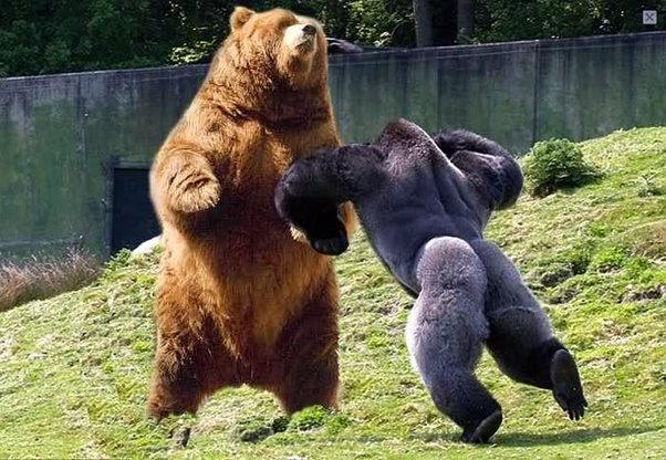 If a silverback gorilla and a grizzly bear were to fight to the a badly photoshopped picture yes but it also serves as a size comparison see how much larger a grizzly is than a gorilla here are some more fun facts publicscrutiny Choice Image