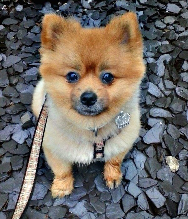 What is the Pomeranian Teddy Bear haircut? - Quora