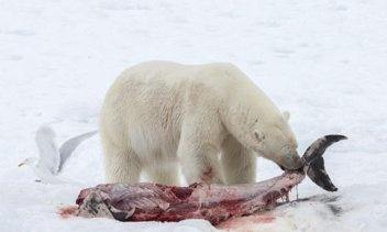 Can polar bears eat sharks? - Quora