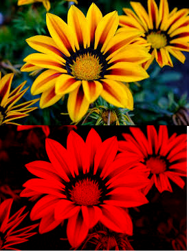 When a yellow flower is seen under red light it always appears a yellow flower in white light top and red light bottom mightylinksfo