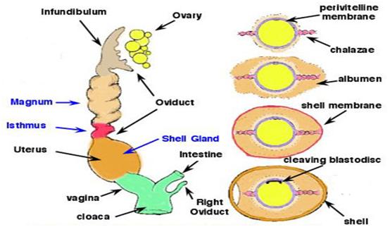 penyebab telur ayam yang lonjong atau oval