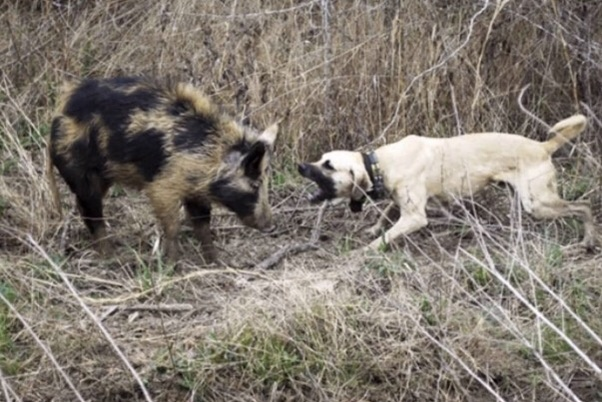 Which are the best dog breeds for wild boar hunting? - Quora