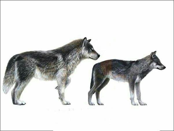 Dire Wolf Species