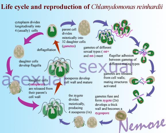 Chlamydomonas asexual reproductive structure