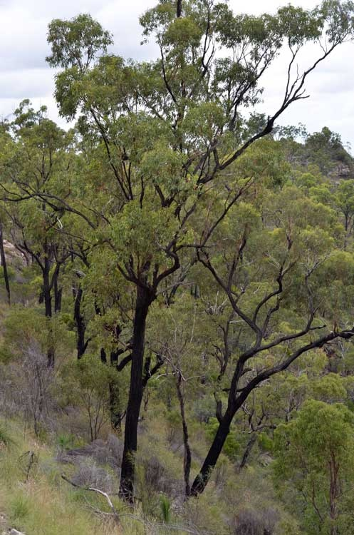 Does It Harm A Eucalyptus To Lose A Lot Of Bark In High Winds Quora