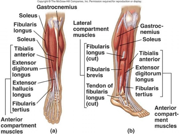 Why Does My Left Tibia Hurt After A Jog Quora