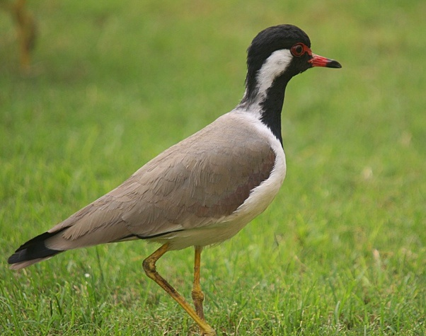 What Is Titri Bird Called In English Quora