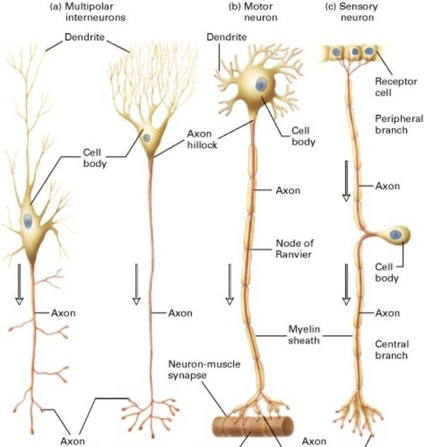 What is the structure of a nerve cell? - Quora
