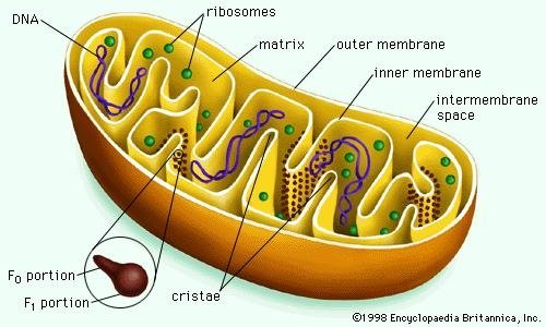 What Part Of The Cells Provides Energy In The Body Of The Cell Quora