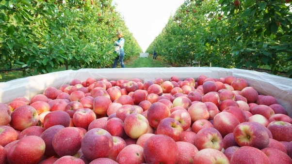 Who is the importer of USA Washington apples in India? - Quora