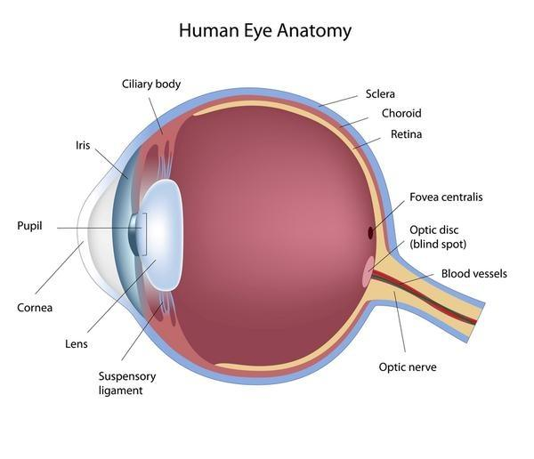 What Is The Function Of Optic Nerves Quora