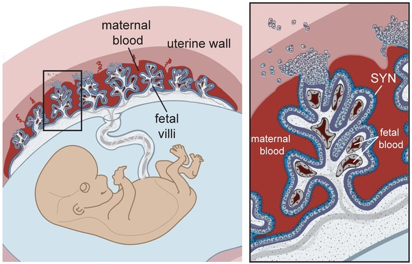 What is the structure and function of placenta in a human female ...