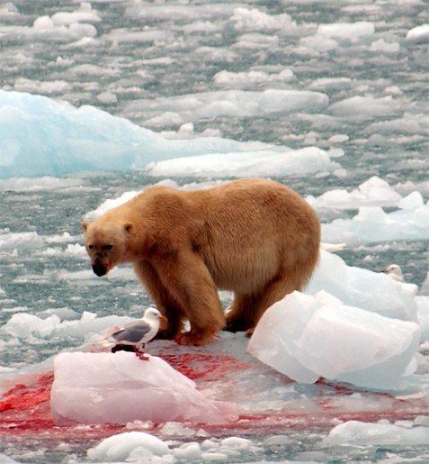 pictures of polar bears eating penguins impremedianet