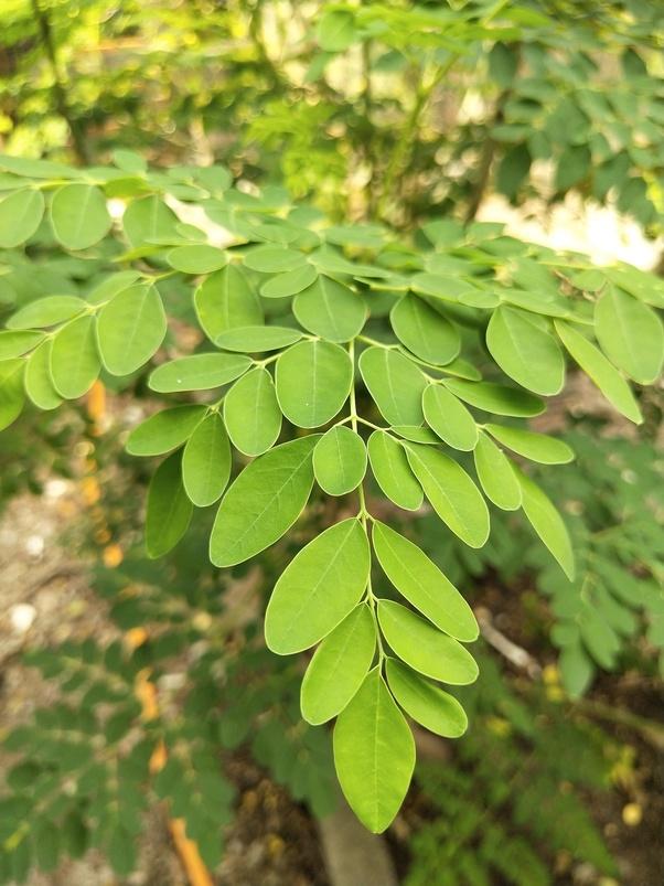 What are the health benefits of moringa? - Quora