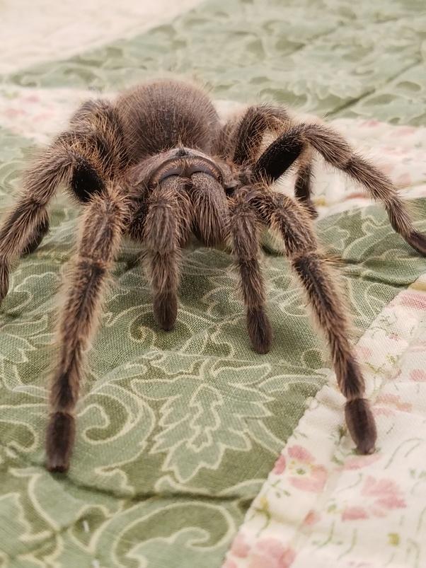 Tarantula pussy