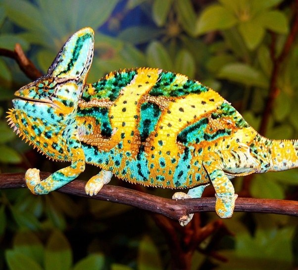 What Are Some Examples Of Color Changing Reptiles Quora