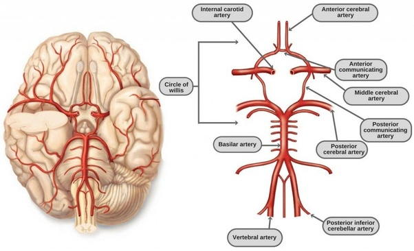What is the circle of willis and its importance quora further it is a circulatory anastomosis which means it connects two blood vessels either two arteries or two veins or arteries and veins ccuart Images