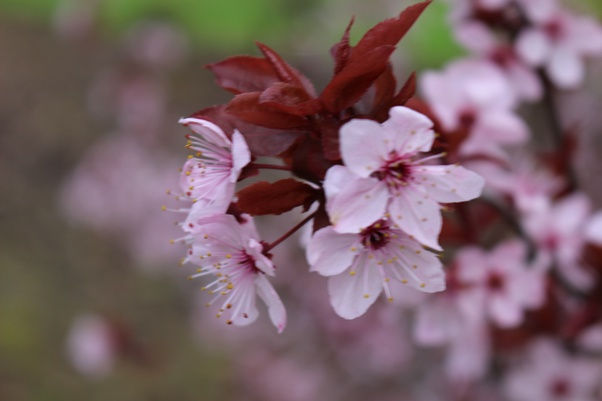 What Are Cherry Blossoms Quora