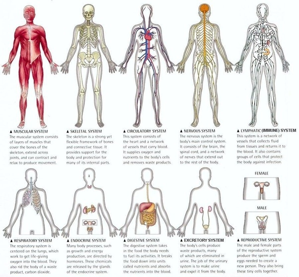 what is the job of the muscular system