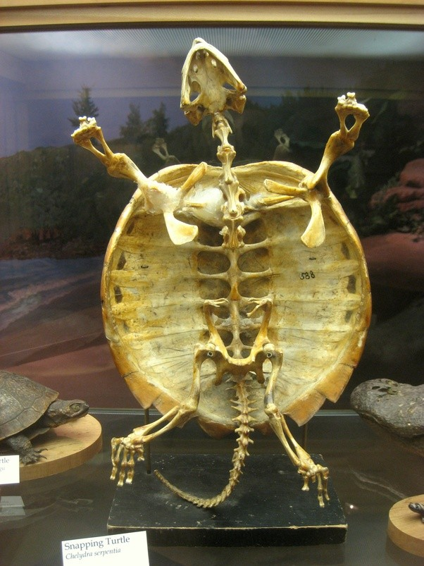 Can You Remove A Turtle From Its Shell Without Killing It Quora