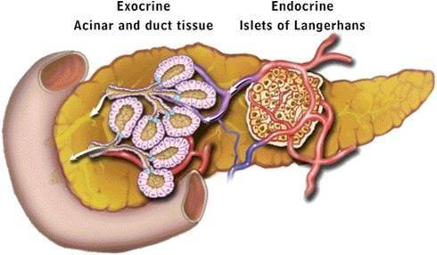 What is the difference between endocrine and exocrine hormones? - Quora