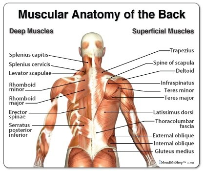 What are the muscles of the back? - Quora