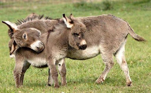 Two donkeys hugging.
