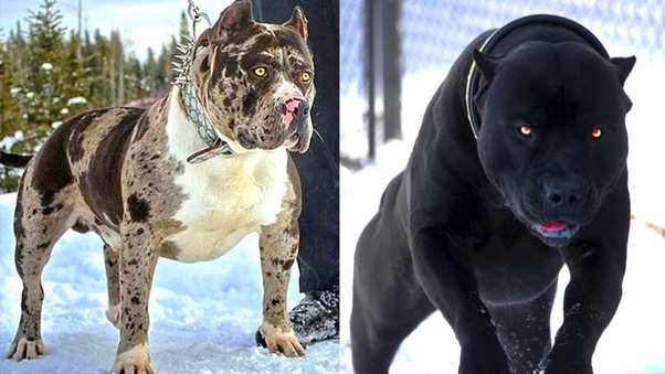 HOOD HOUNDS 3 PITBULL DOG FELONY NEW