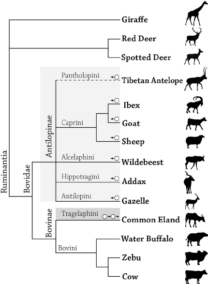 Taxonomy diagram of Ruminantia, showing sheep and goats as separate species.