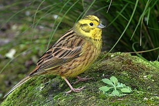 Of Which 285 Start With The Word Yellow One Exle Is Yellowhammer Lives In Eurasia And Has Been Introduced To Some Other Places