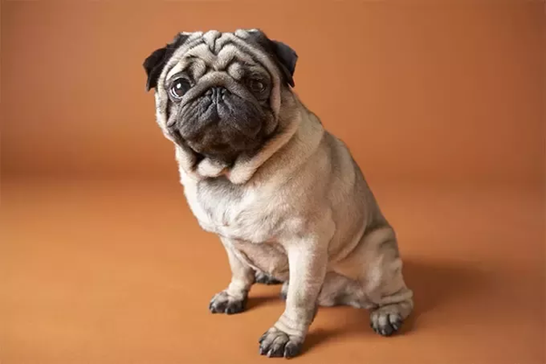 Then Comes Pomeranian Dog Most Common Breed In India As Obviously Easily Available Not So Costly Unlike Other Pugs Low Maintaining Cost Great Buddy