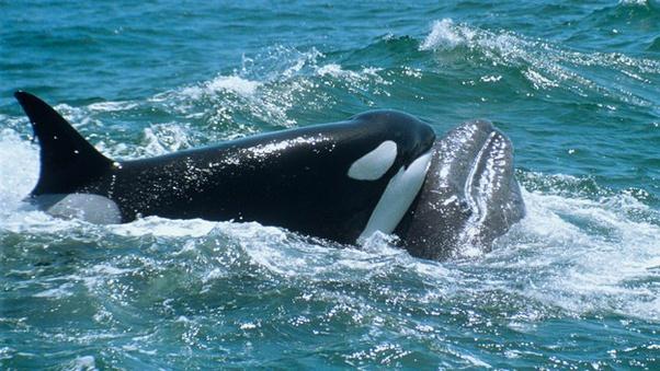 ¿Por qué los tiburones no comen delfines? Main-qimg-54e01ab6be35dc470b84c1f6ae5d281a